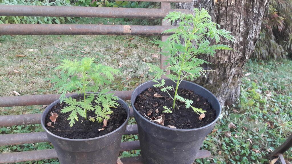 Artemisia Annua en pots