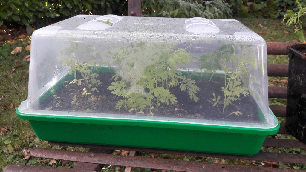 L'artemisia annua en semis sous une mini-serre