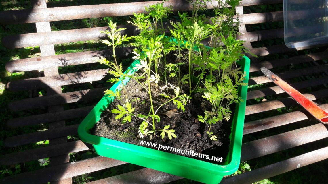 Comment faire pousser sa propre Artemisia Annua ?