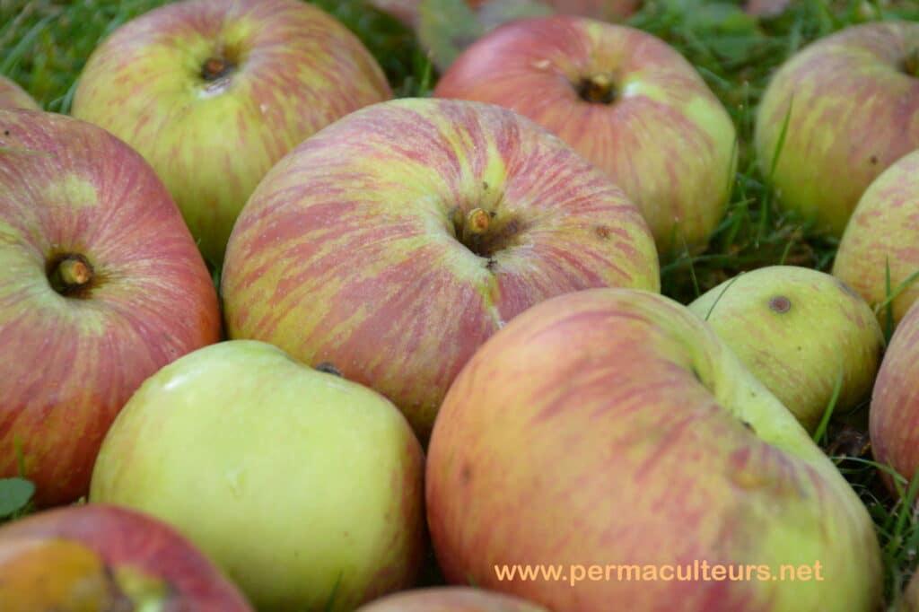 pommes rambour