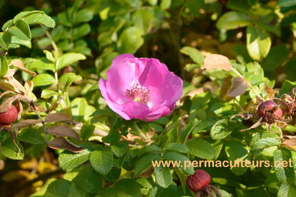 fleur de rosa rugosa